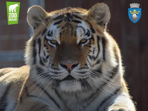 ziua-internaionala-a-tigrului-la-zoo-braov